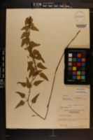 Smilax pseudo-china image