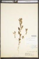 Acalypha virginica image