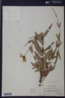 Helianthus floridanus image