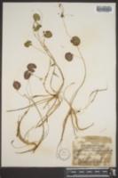 Nymphoides lacunosa image