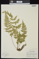 Cystopteris protrusa image