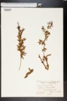 Image of Vicia orobus