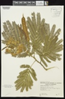 Albizia julibrissin image