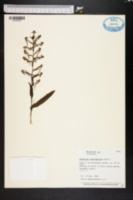 Image of Habenaria odontopetala