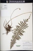 Image of Amauropelta rosenstockii