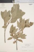 Image of Persea borbonia