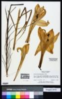 Image of Lilium philippinense