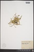 Cerastium bialynickii image