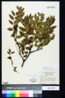 Ziziphus zizyphus image