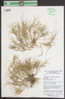 Dichanthelium acuminatum var. longiligulatum image
