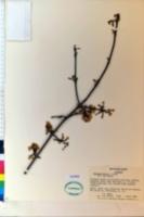 Viburnum farreri image