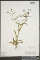 Valerianella dentata image