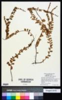 Image of Vaccinium crassifolium