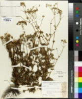 Image of Ageratina jacunda