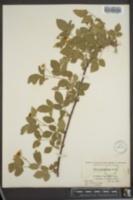 Image of Rubus kentuckiensis