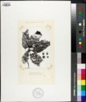 Image of Quercus cupreata