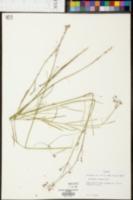 Asclepias cinerea image