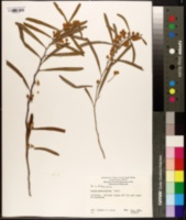 Image of Acacia rostellifera