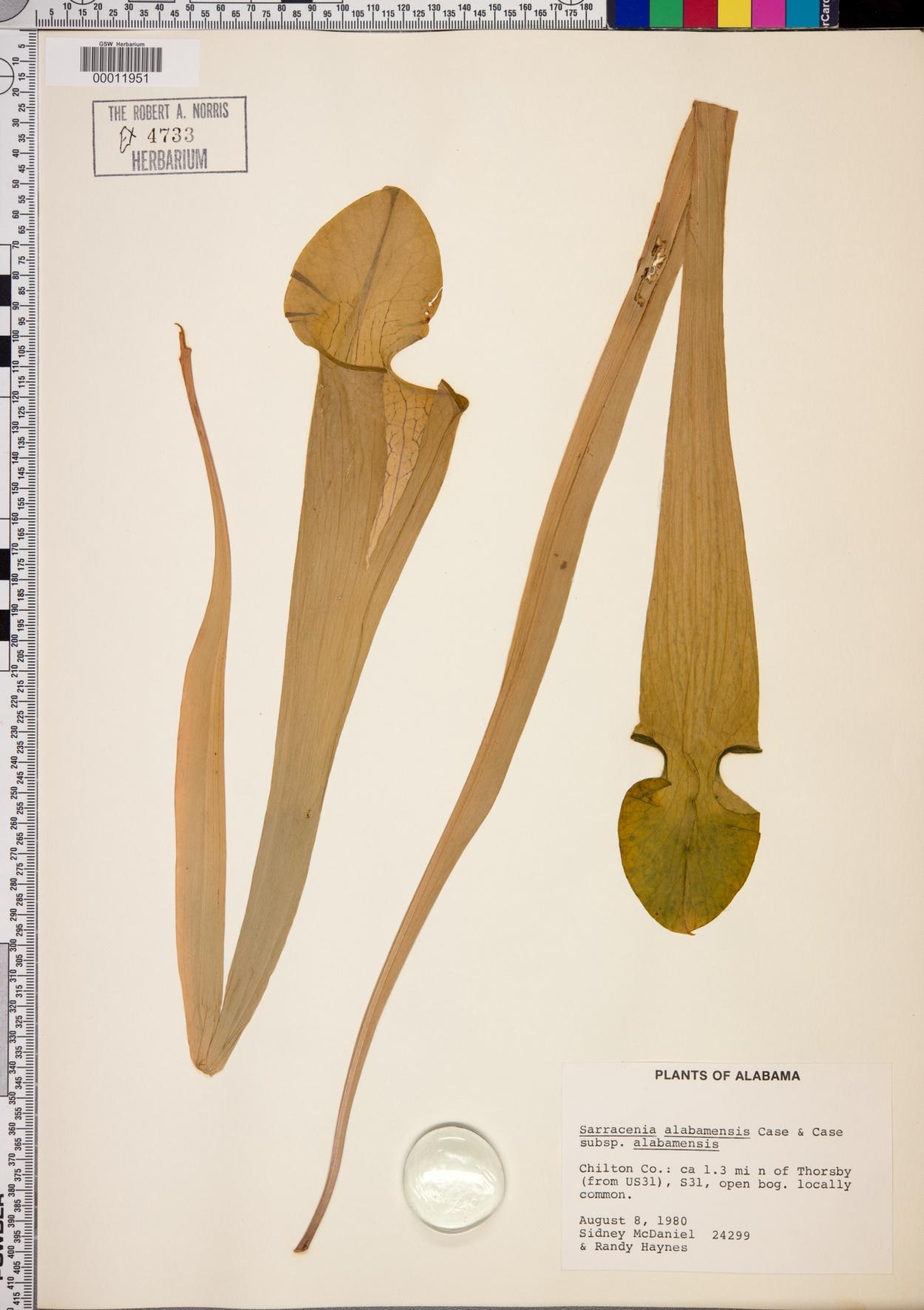 Sarracenia alabamensis subsp. alabamensis image