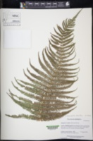 Amauropelta resinifera image