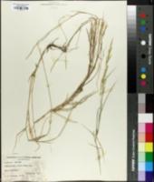 Muhlenbergia glauca image