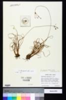 Image of Fimbristylis brevivaginata