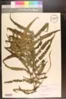 Thelypteris acuminata image