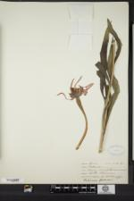 Echinacea pallida image