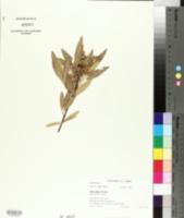 Image of Searsia angustifolia
