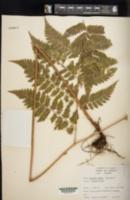 Ctenitis effusa image