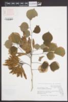 Pterocarpus indicus image