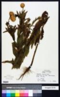Plectocephalus americanus image