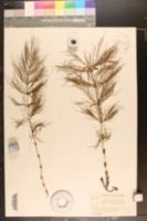 Equisetum sylvaticum f. multiramosum image