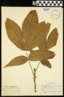 Image of Hicoria carolinae-septentrionalis