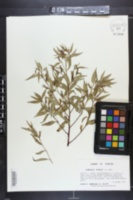 Image of Ludwigia erecta