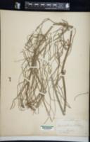 Equisetum debile image