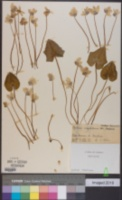 Image of Cyclamen neapolitanum