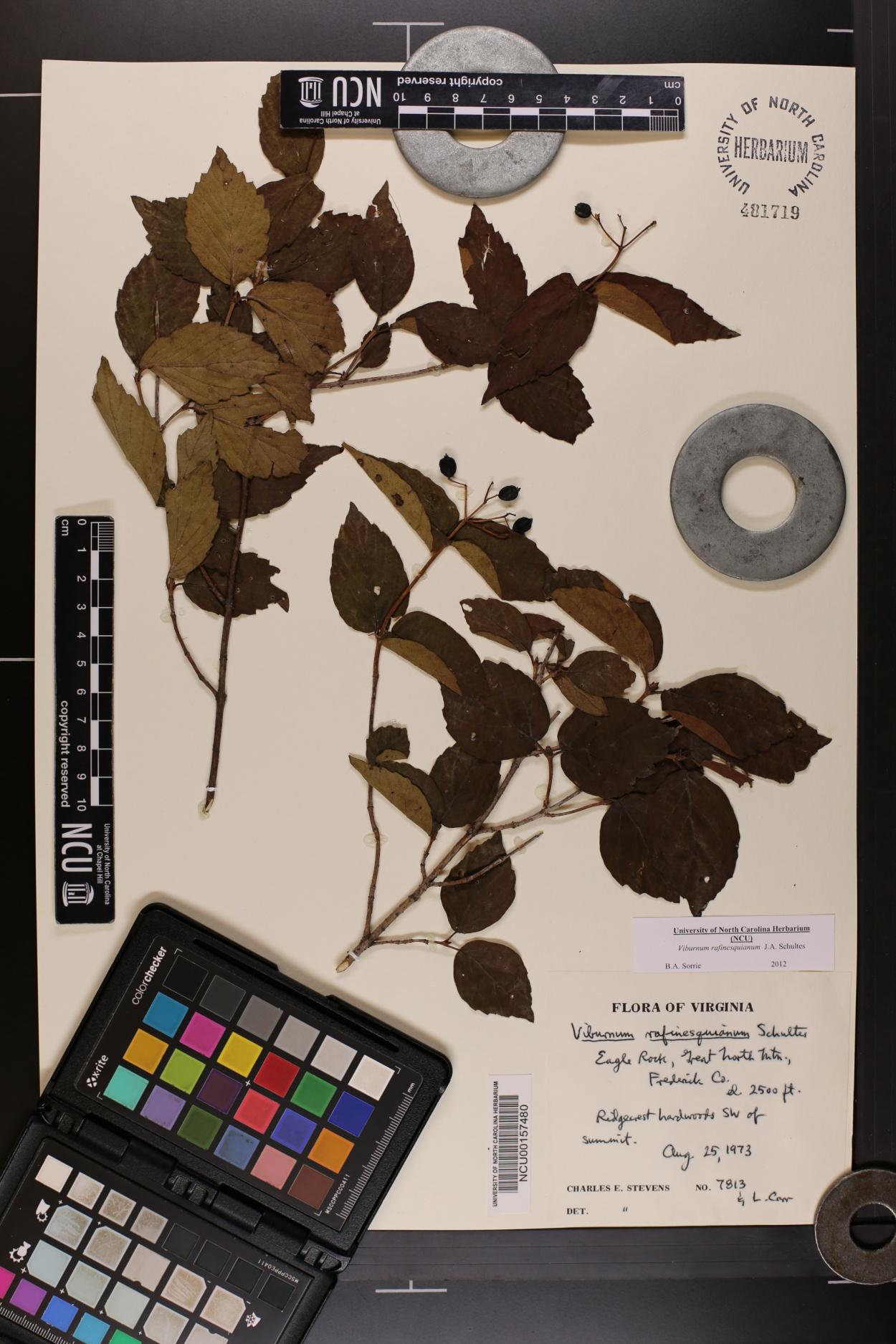 Viburnum rafinesqueanum var. affine image