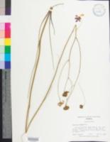 Image of Coreopsis nudata
