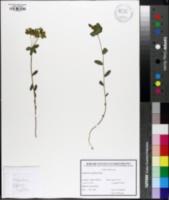 Euphorbia angulata image