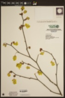 Image of Corylopsis spicata