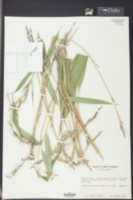 Image of Arundinaria japonica
