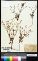 Image of Eriogonum vestitum