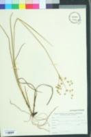 Image of Juncus nodatus