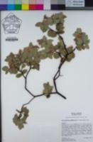 Arctostaphylos gabilanensis image