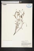 Image of Phyllanthus pentaphyllus