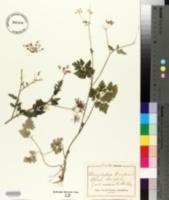 Chaerophyllum temulum image