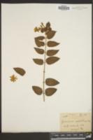 Image of Jasminum undulatum