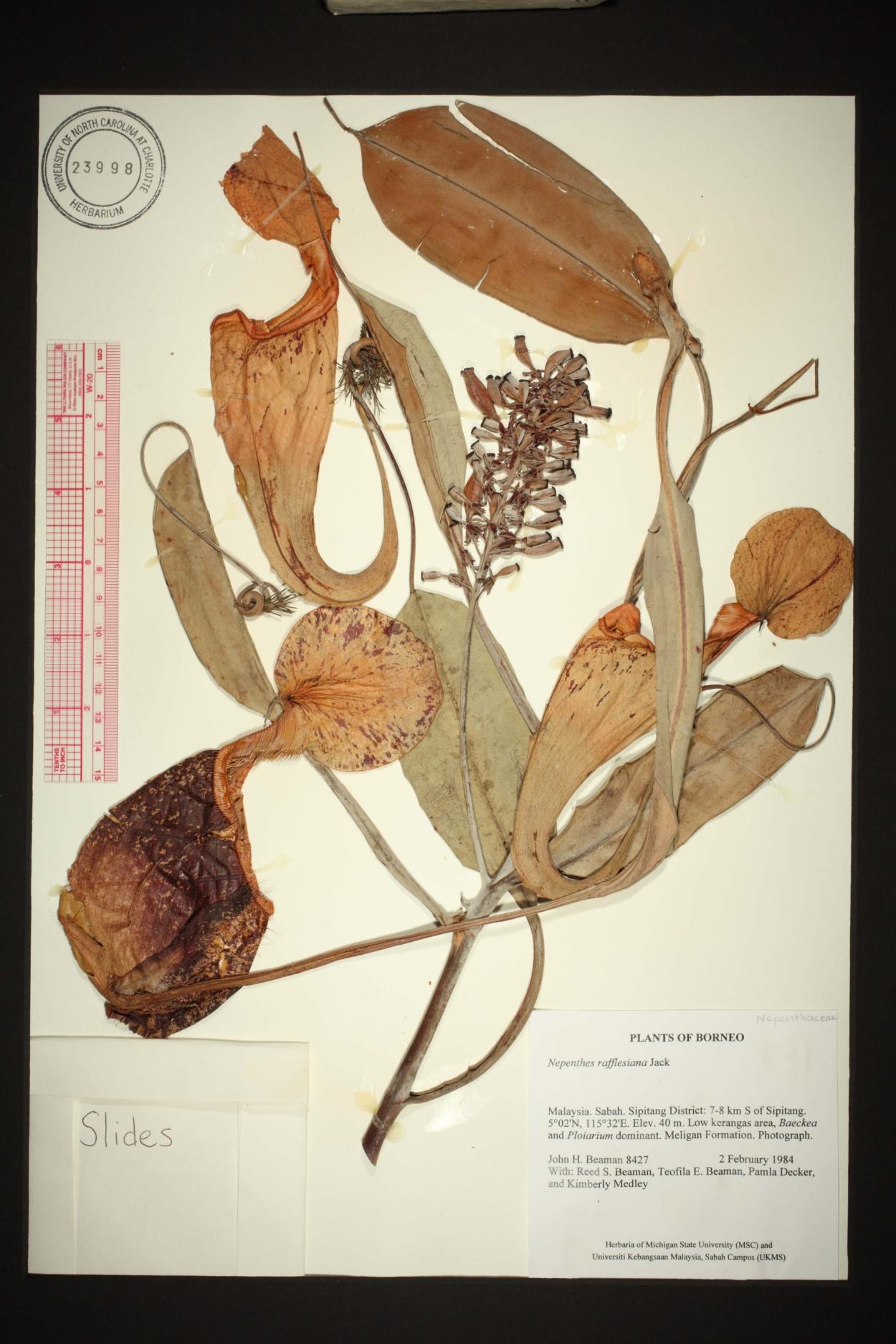 Nepenthes rafflesiana image