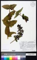 Penstemon ovatus image